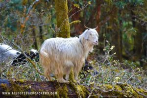 jungle sheep at the forest