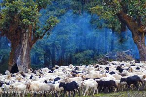 sheep at the jungle - Roopkund trek campsite