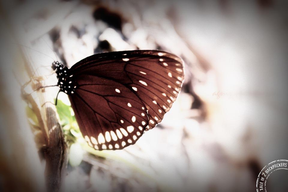 Butterflies at Buxa