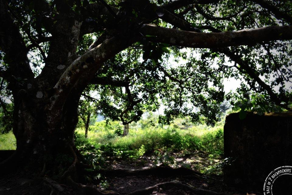 Old Banyan tree at Buxa Fort