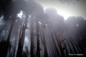 Pine forest at Lepchajagat near Darjeeling