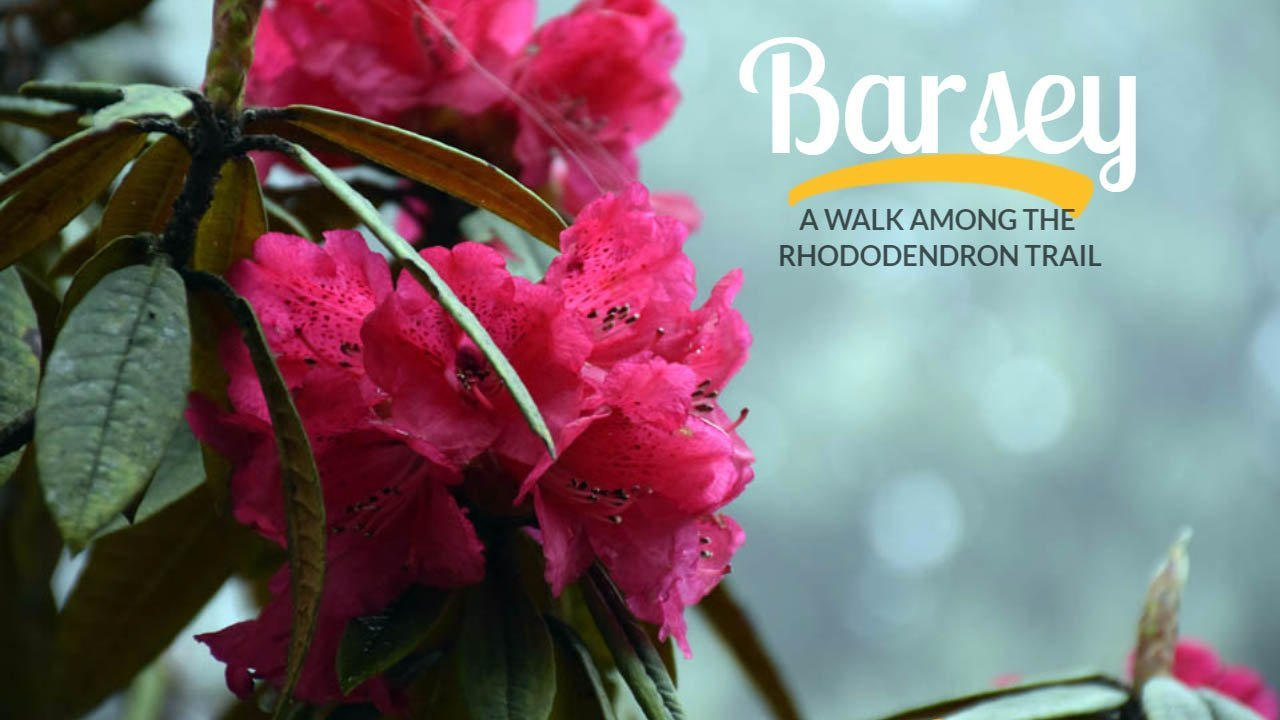 Barsey – a walk among the rhododendron trail