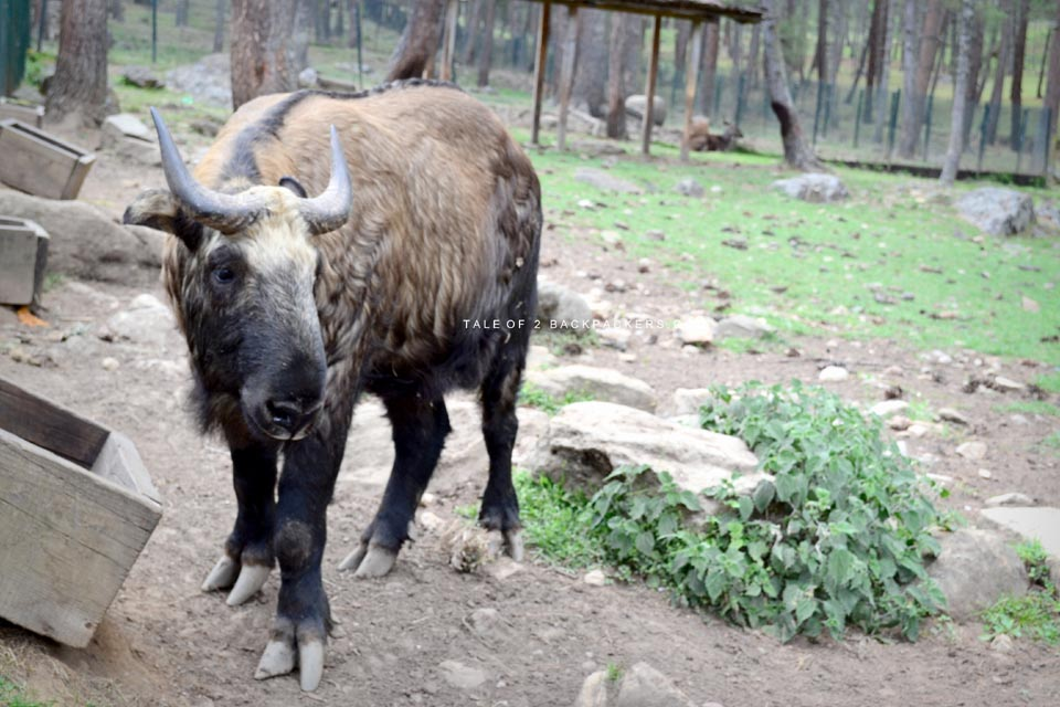 Motithang Takin Reserve | Places to visit in Bhutan