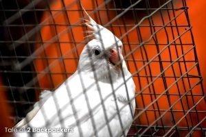 A pigeon at the bird market