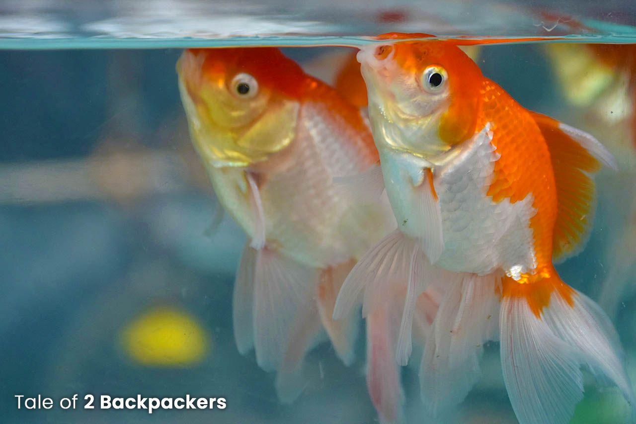 A pair of Gold fish sold at low price at Galiff Street Fish Market in Kolkata