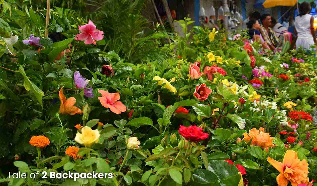 Colourful flowering plants at Galiff Street Plant Market in Bagbazar