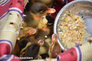 Chickens feeding