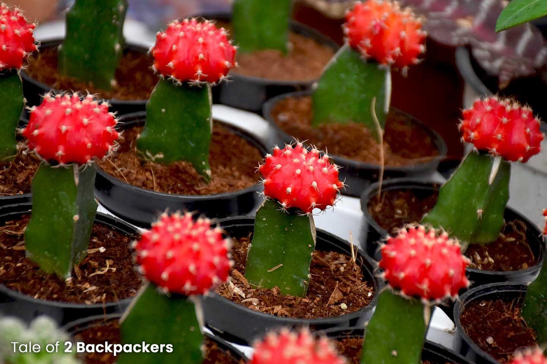 Cactus plant at Gliff Street plant market Kolkata