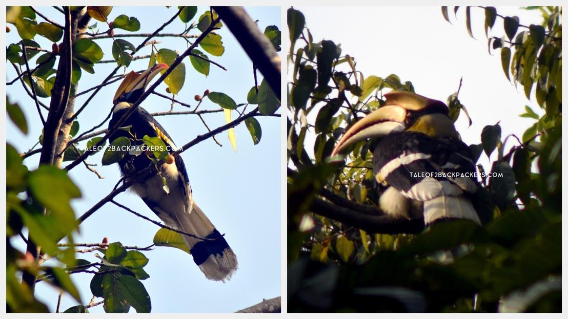 Hornbills at Latpanchar