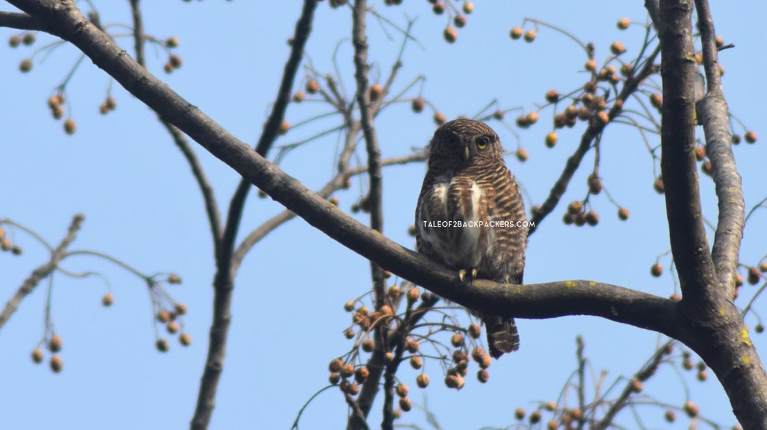Indian owlet