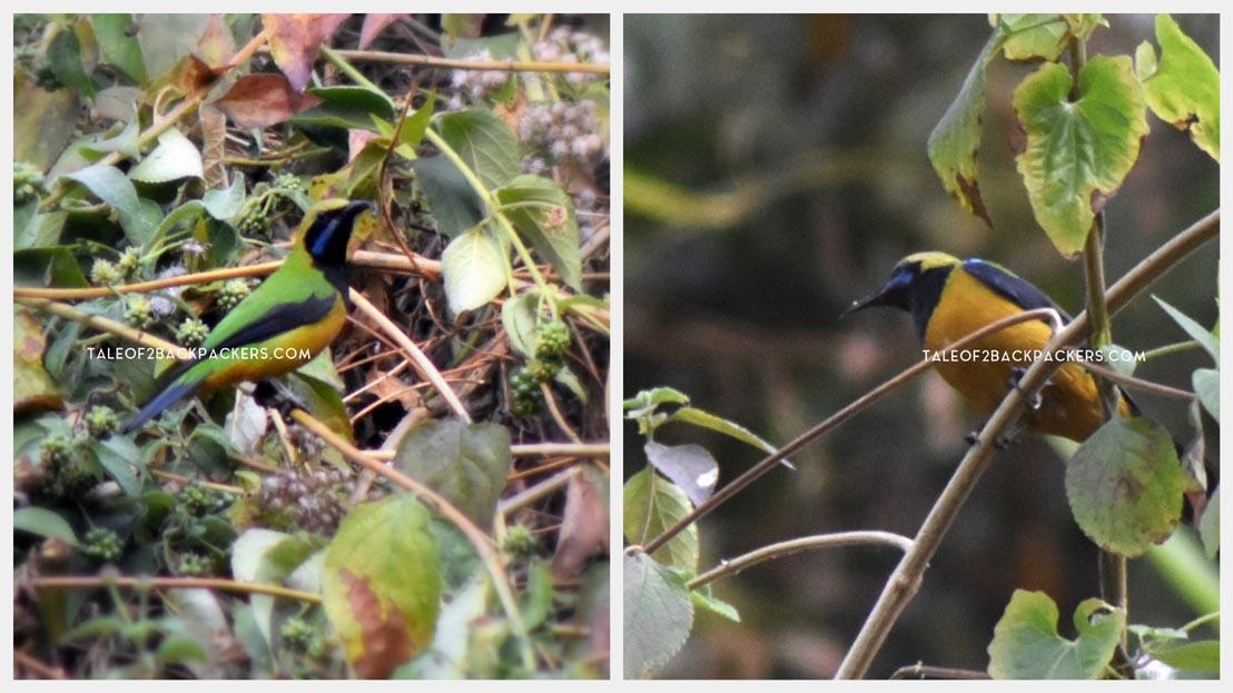Leaf Bird at Latpanchar