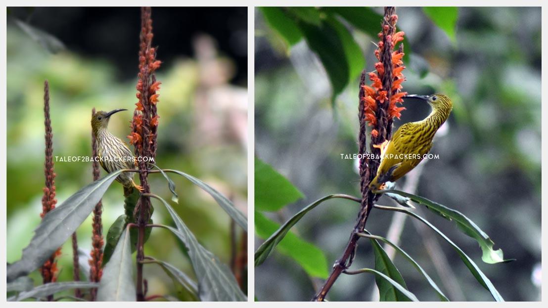 Streaked spiderhunter -Arachnothera magna