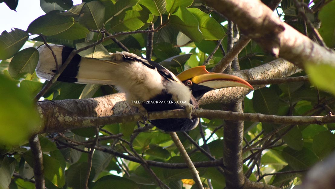 The Great Indian Hornbill at Latpanchar