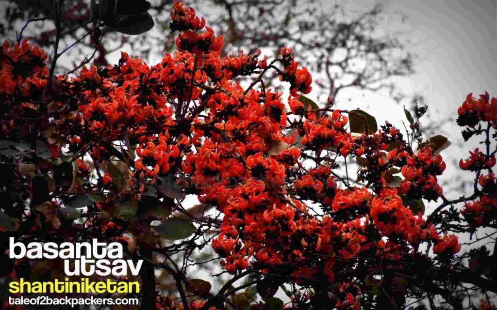 Palash flowers at Shantiniketan