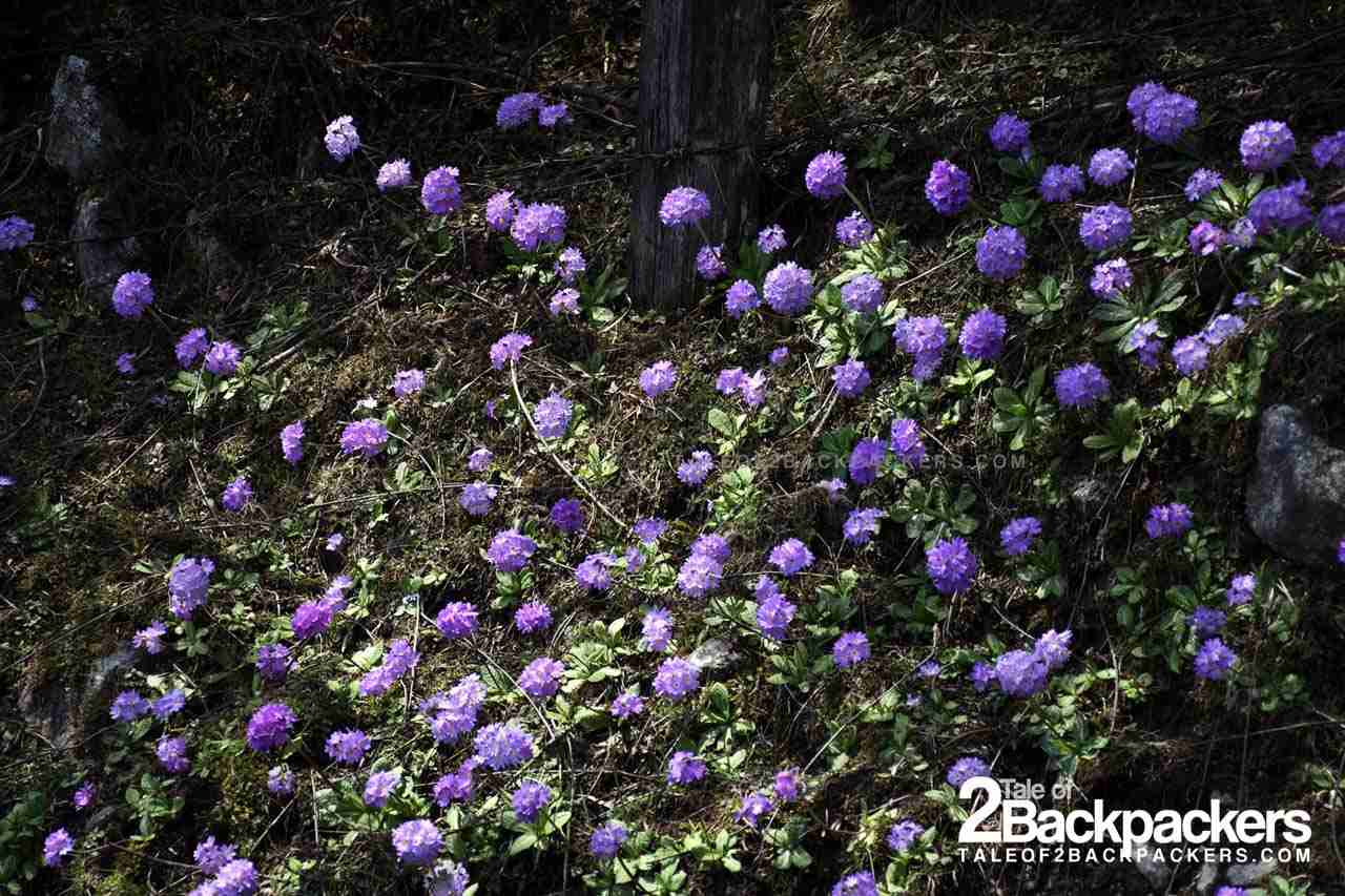 Blooming Rhododendrons in Valley of Flowers Sikkim