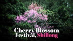 Cherry Blossom festival Shillong India