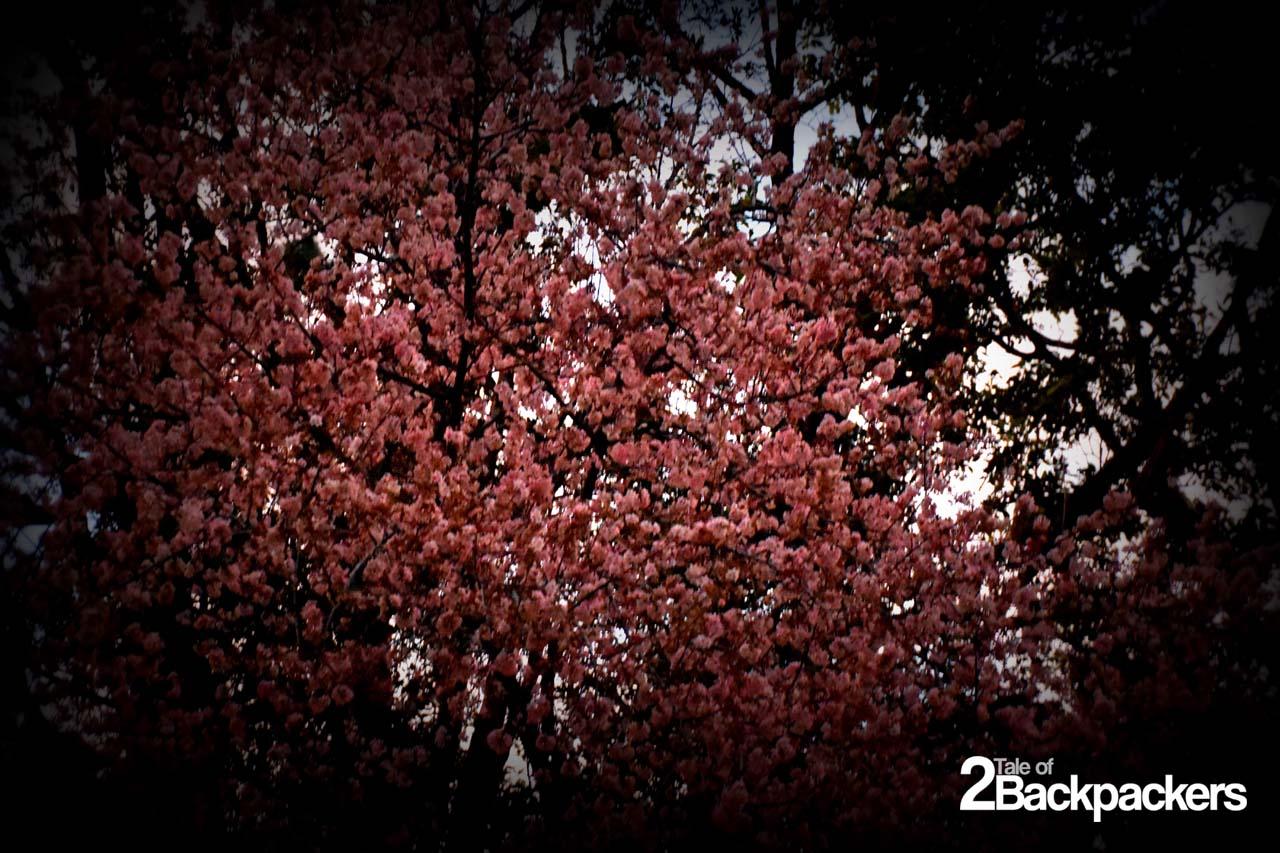 Cherry Blossom festival Shillong