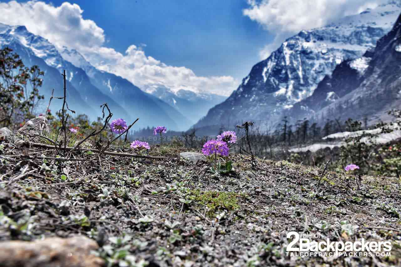 Flowers blooming in Yumthang Valley