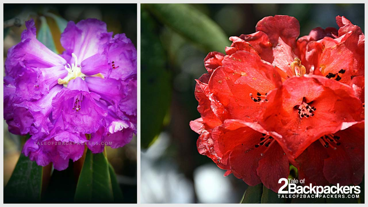 Rhododendrons in Yumthang Valley