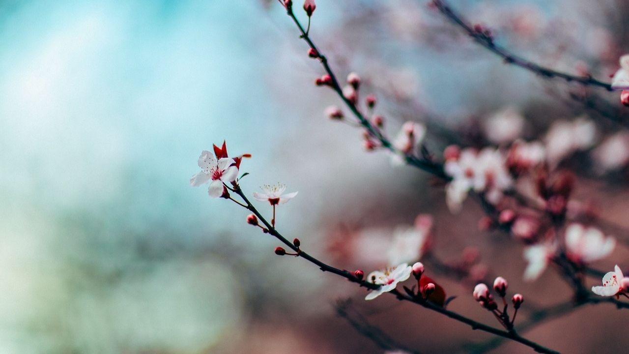 India International Cherry Blossom Festival, Shillong
