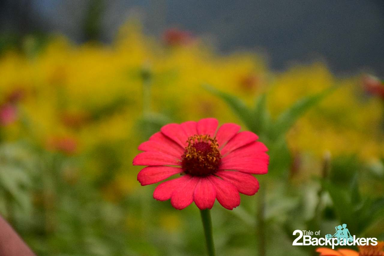 Flowers and orchids of Sikkim
