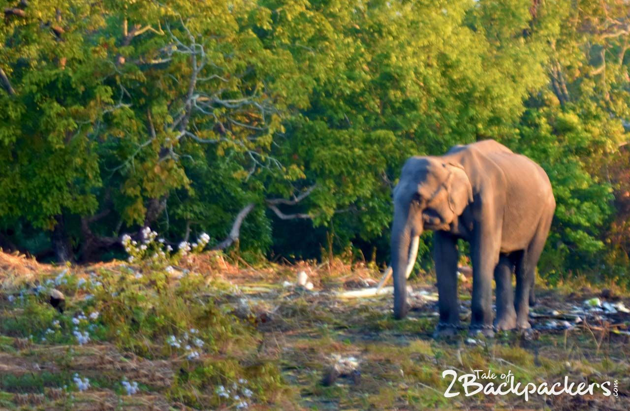 Elephants at Manas National Park, Kaziranga-Assam