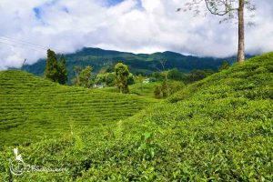 Tea gardens at rangbull - offbeat weekend destinations near Darjeeling