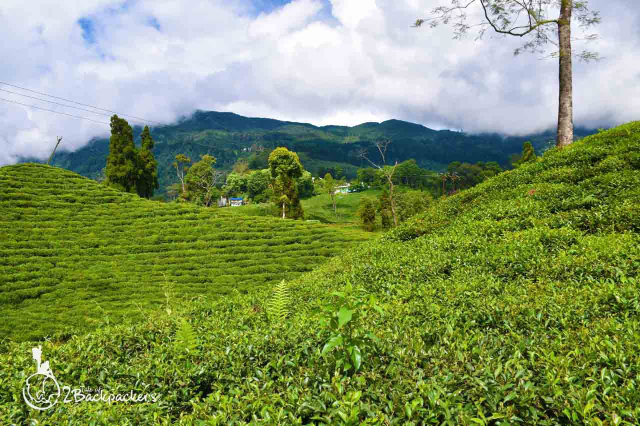Tea gardens at rangbull - offbeat weekend destinations near Darjeeling