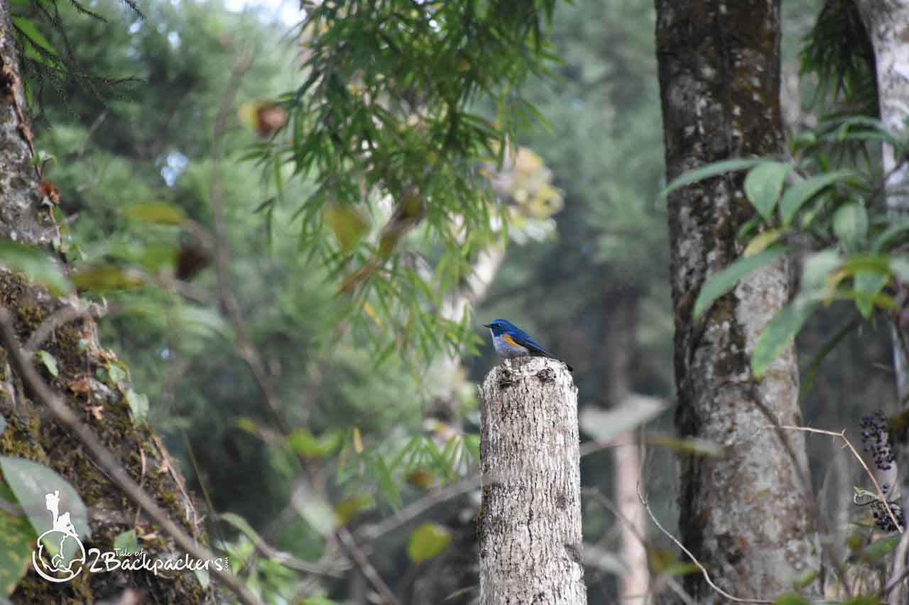 Niltava - Latpanchar is a bird watching destination known for hornbills and other himalayan birds - A lone hut in North Bengal - offbeat weekend destinations near Kolkata