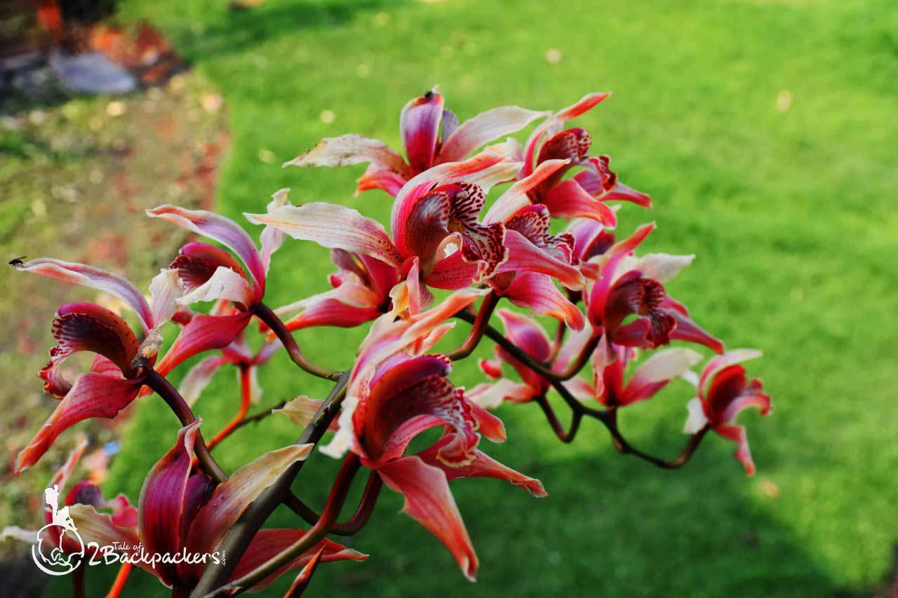 orchids of Sikkim - weekend getaways near Kolkata