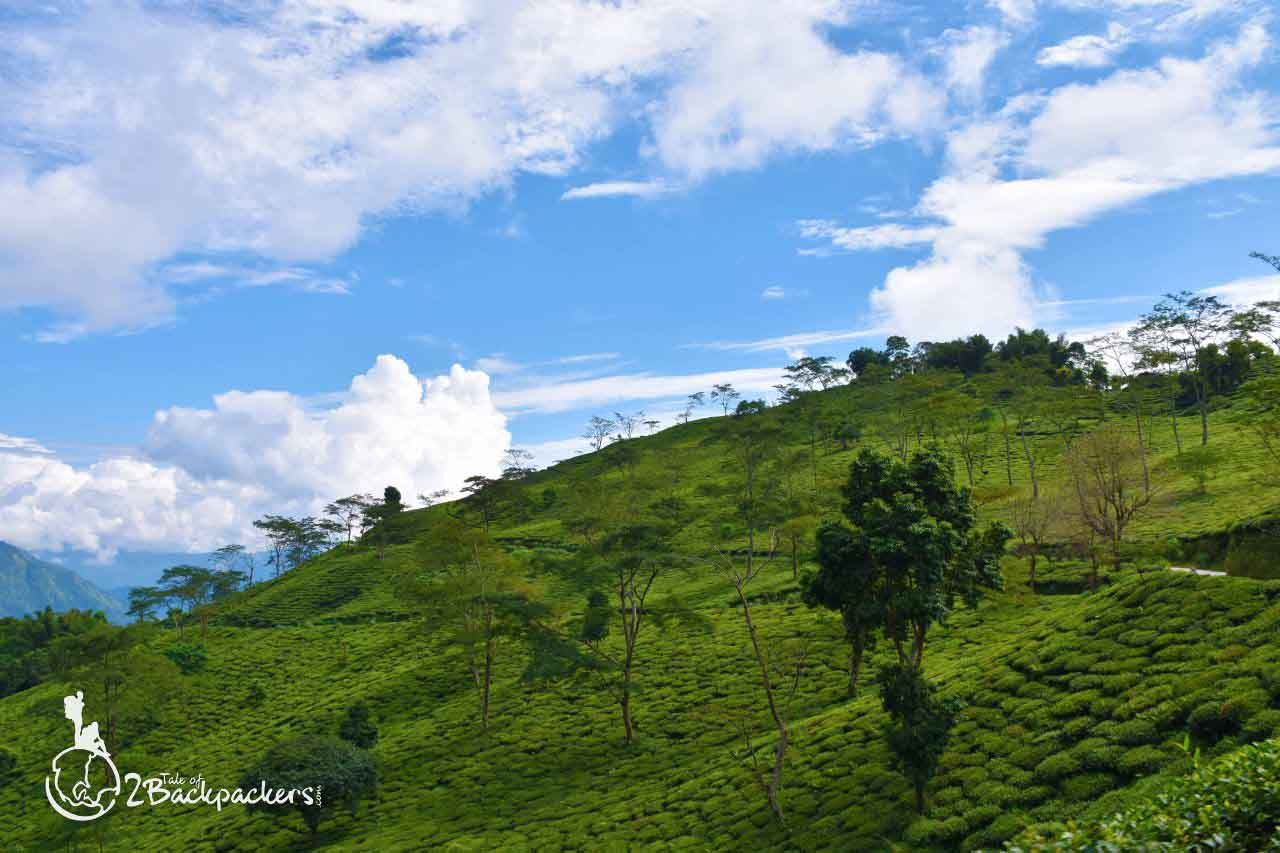 Tea gardens at Makaibari Tea Estate - offbeat weekend getaway from Kolkata