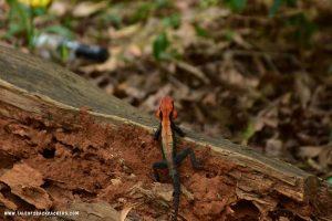 Chameleon at the Spice garden