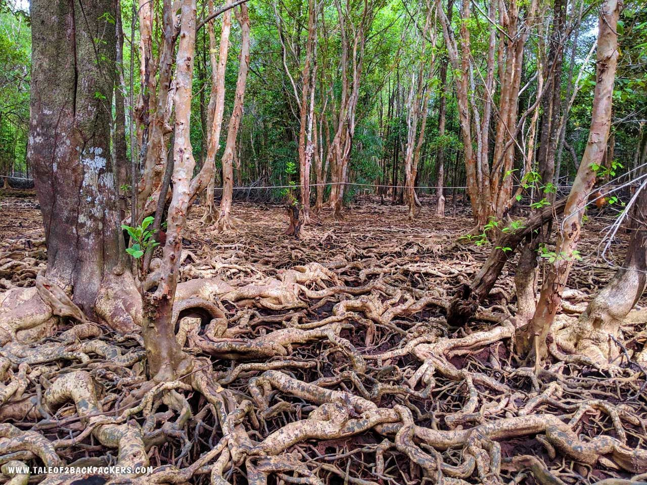 Mangrove forests at Trat