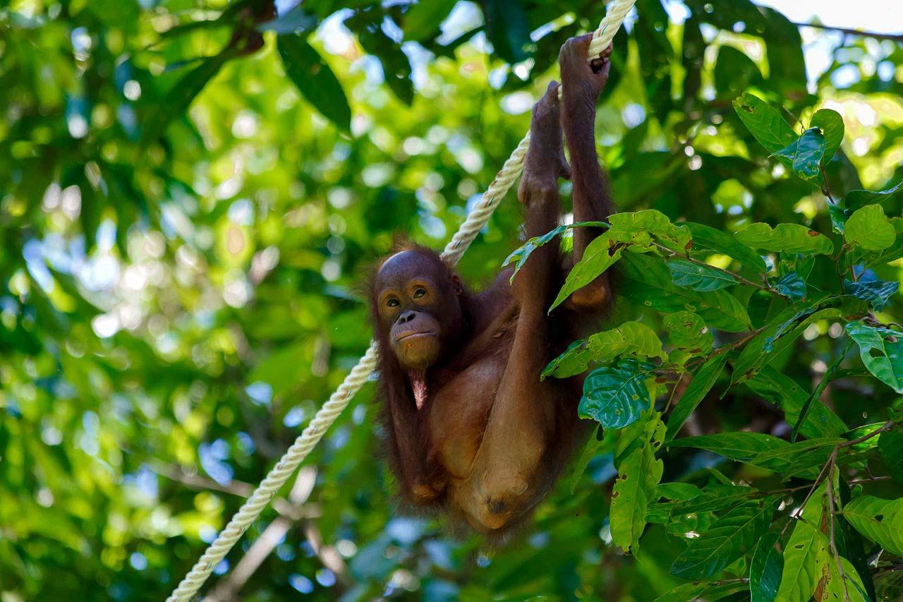 Sepilok Orangutan Centre, Sandakan