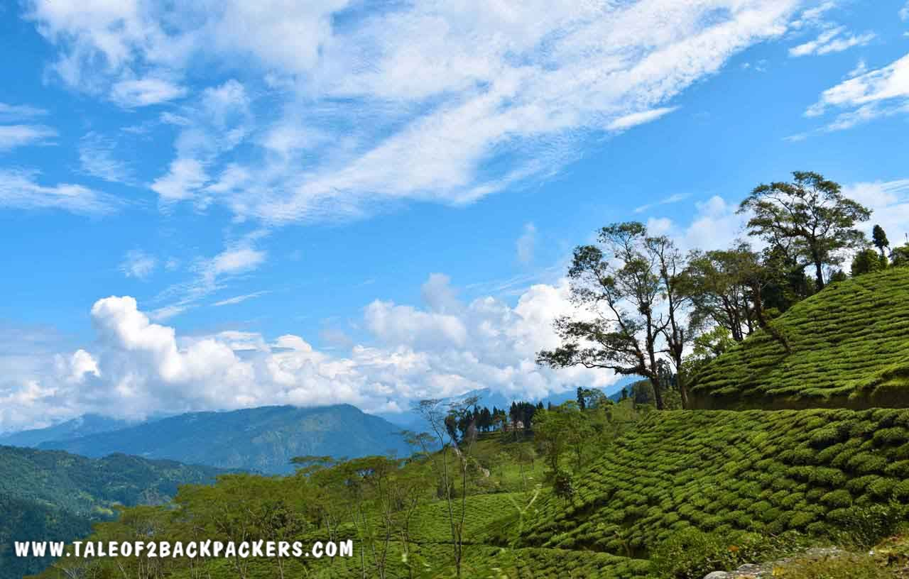Tea gardens at Takdah