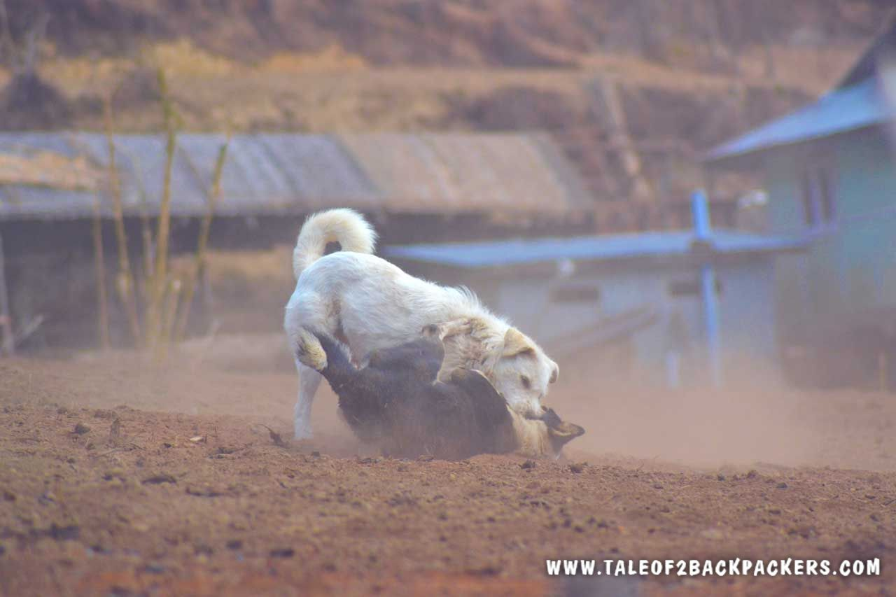 dogs fighting at Srikhola village