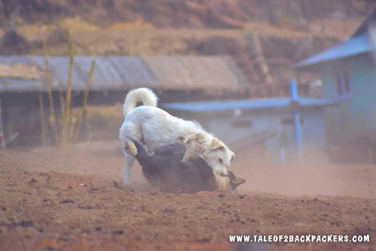 dogs fighting at Srikhola village