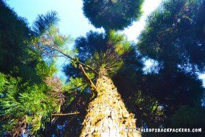 fir tree at Manebhanjan