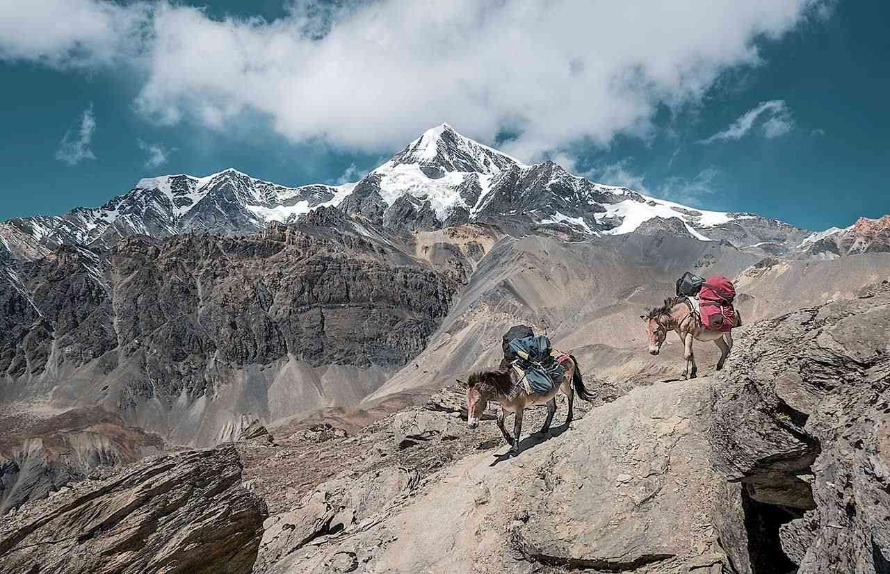 Mules on treks in Nepal