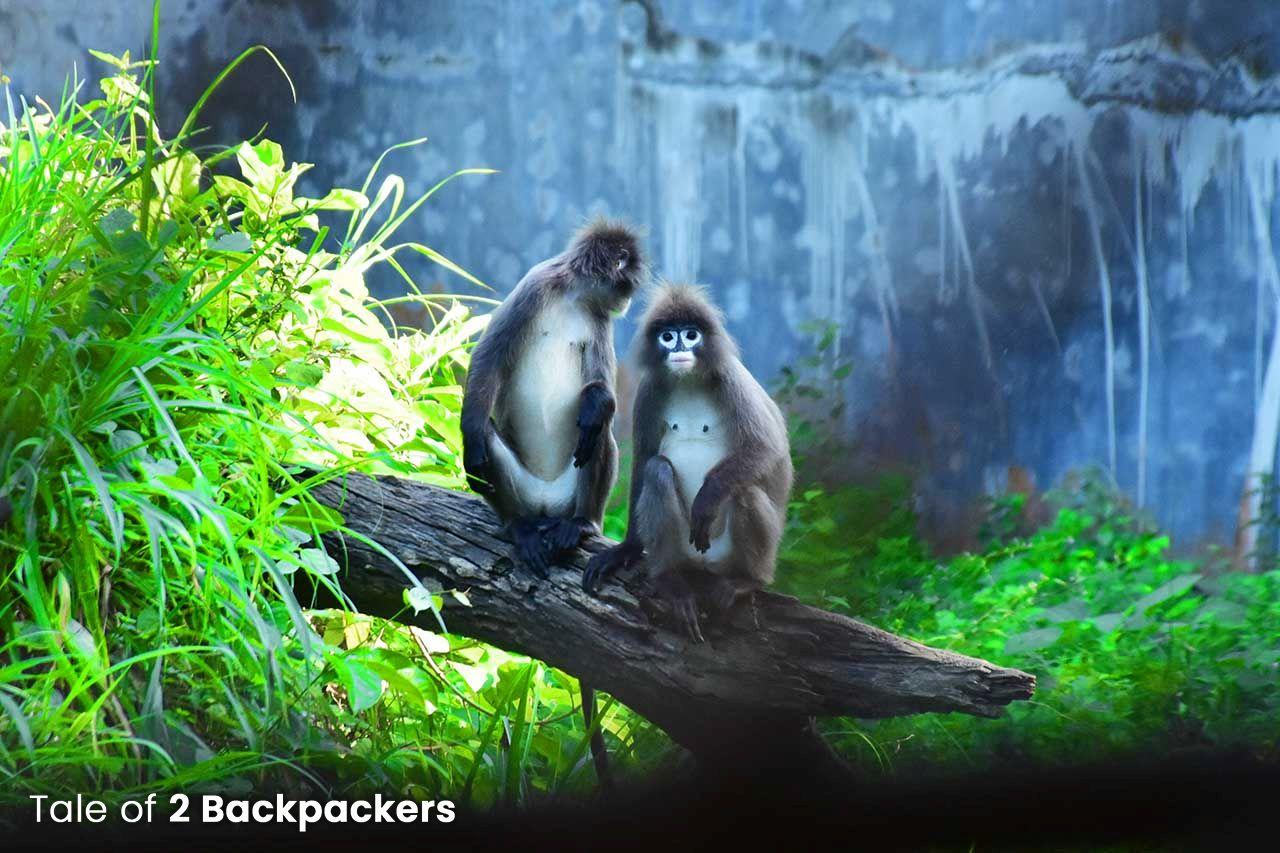 Phayre's Langur or spectacled monkeys at Sepahijala Wildlife Sanctuary