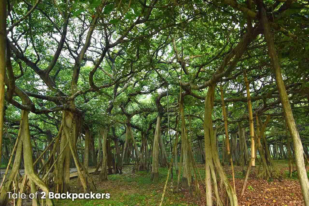 The Great Banyan Tree at Botanical Gardens