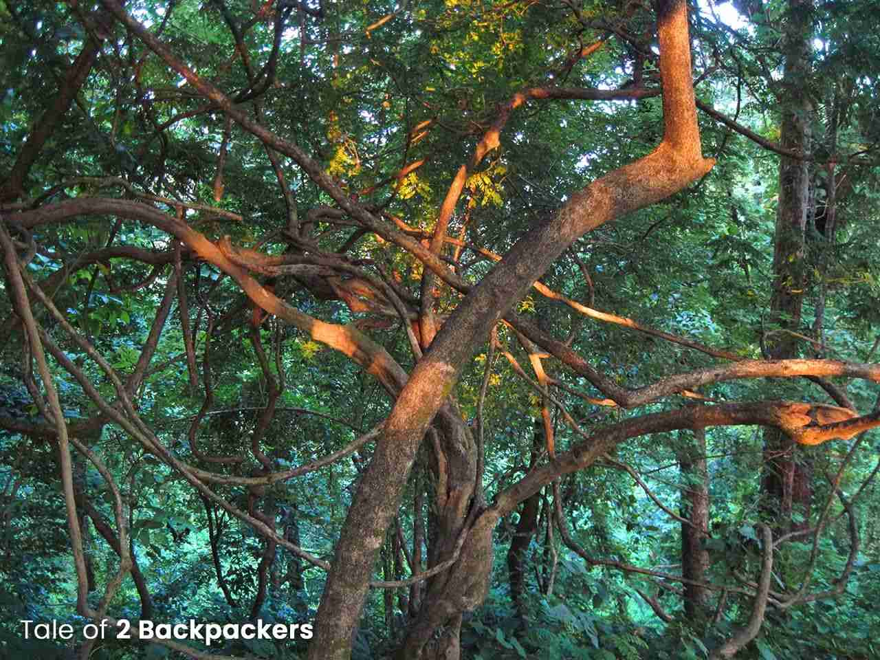 Dense jungle at Buxa Tiger Reserve