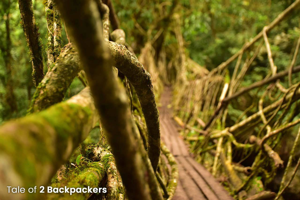 Growing root bridges by the Khasi people of Meghalaya