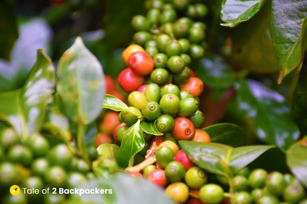 Indian Coffee Beans in Coorg