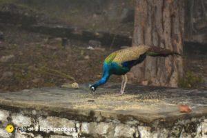 Peacock at Bateshwar Temple Morena