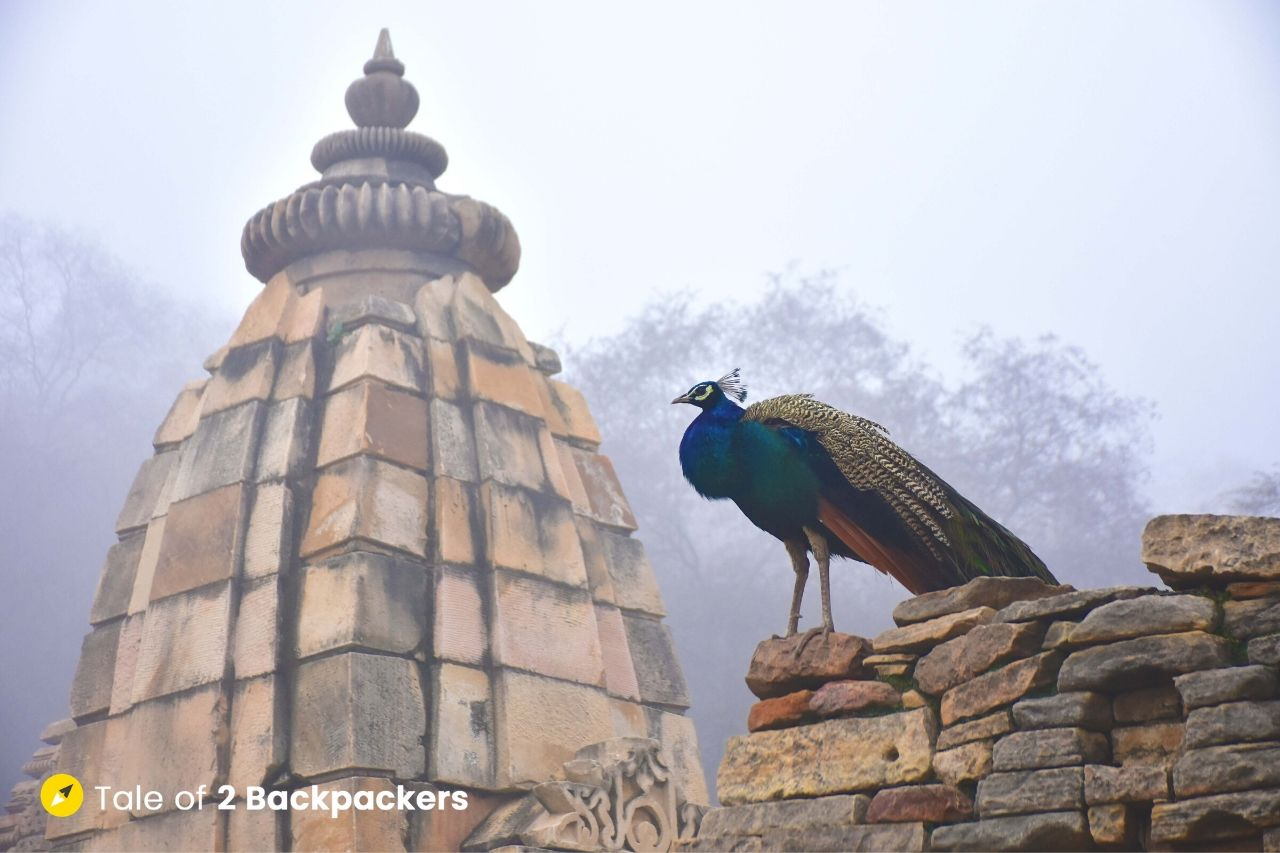 Peacock standing over a temple top in Batesara Temple