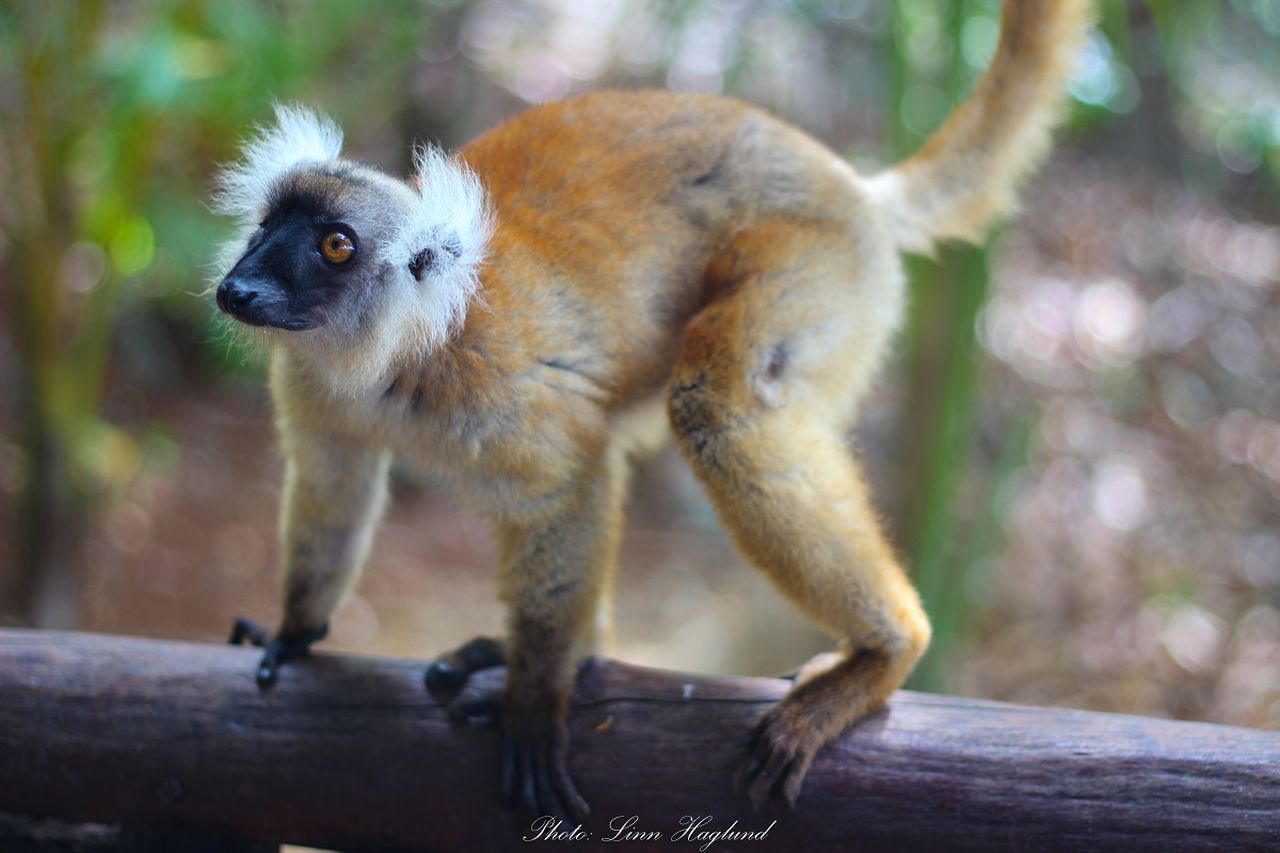 Lemur on Ankazoberavina - ecotourism destination