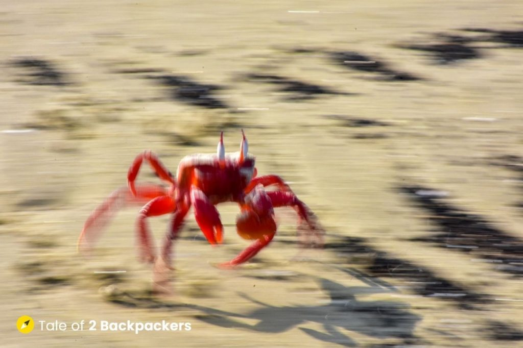 A running red crab at Baguran BEach - offbest weekend trip from Kolkata