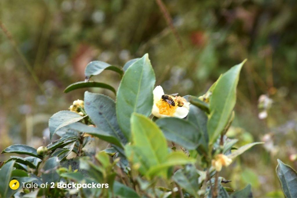 Tea leaves and bud