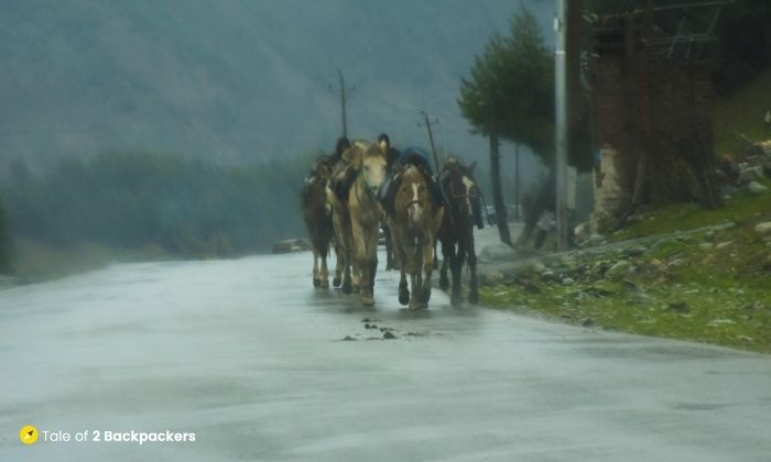 Horses at Gulmarg